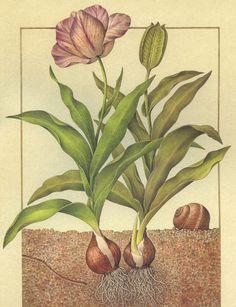 Bulbo di Tulipano e Chiocciola Comune (Turchia)
