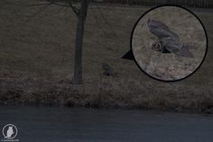 Male Great Horned owl flying low above frozen pond in DuPage County Illinois
