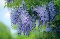 Обои Глициния Фиолетовый Ветки Цветы
