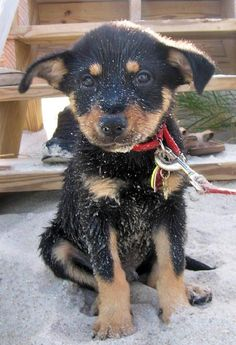 another Toki-esque mutt pup