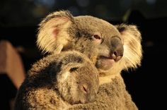 Marsupial Gallery: A Pouchful of Cute | Marsupial Mammals of Australia & America | Amazing Animal Images