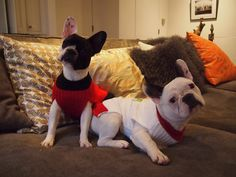 Violet (left) and Lily, Bob Williams' French bulldog puppies--9 months old