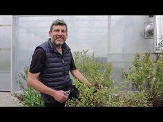 Řez kanadských borůvek (Vaccinium corymbosum) a seznámení s chorobou borůvek Phomopsis vaccinii - YouTube Youtube, Youtubers