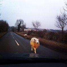 Jenni Schanschieff @jschanschieff Friendly road user on the way home from work #sheepoftheweek