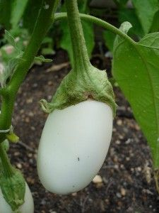 Growing Eggplant - Bonnie Plants: White eggplant is a nice, mild-tasting surprise for some gardeners and eaters. Like dark-colored eggplant, the white fruits should be glossy when ready to harvest Eggplant Benefits, Eggplant Varieties, Growing Eggplant, White Eggplant, Japanese Egg, Self Watering Containers, Rusty Garden, Growing Veggies, Growing Plants