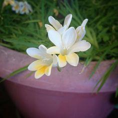 Nardos Nardo, Plants, Flowers, Planters, Plant, Planting