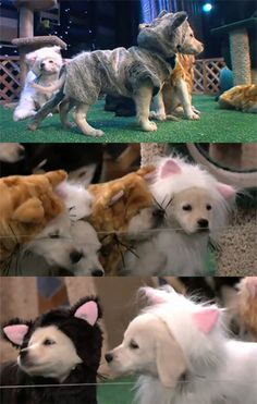 Puppies dressed as cats. Quite possibly the greatest bit the short-lived Tonight Show with Conan O'Brien had. Meanwhile, I wish we could buy those last few weeks wherein he trashed NBC endlessly on DVD. That, too, was gold.