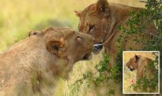 Cub #pulls #tranquilizer dart out of #lioness...