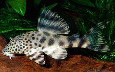 Peckoltia brevis,,,looks like a snow leopard pleco! Saltwater Aquarium Fish, Freshwater Aquarium Fish, Beautiful Tropical Fish, Beautiful Fish, Pleco Fish, Plecostomus, Cool Fish, Fishing Photography, Colorful Fish