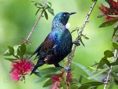 Tui | Tony Smith Photography Birds, Gallery, Green, Photography, Animals, Bedroom, Photograph, Animales, Roof Rack