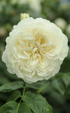 'Tranquility' is a large creamy English Rose rosette with a sweet lemon scent from David Austin. Photo by Jason Ingram.