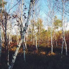 Find Momo in a birch forest!