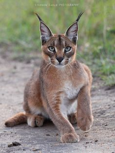 Caracal by Stephen Earle on 500px More