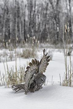 Great grey owl  | by Daniel Parent