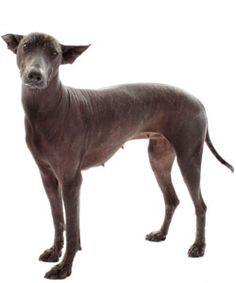 Follow these six tips to groom your Xolocuintli, Chinese Crested Terrier, American Hairless Terrier and other hairless breeds.