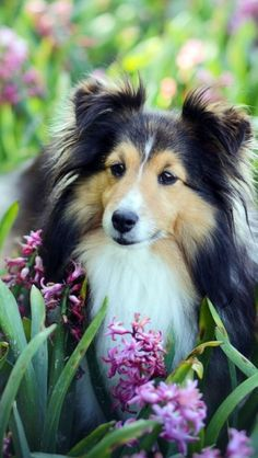 3120 best small dog breeds images on pinterest cute puppies check out all of our shetland sheepdog photos sheltielovers shelties shetlandsheepdogsofinstagram sheltielove solutioingenieria Choice Image