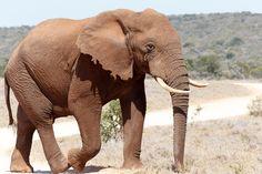 Bush Elephant walking on the dust road Big Bush Elephant walking on the dust road.