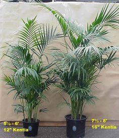 pachira aquatica plante en pot ikea achats d co pinterest achat et d co. Black Bedroom Furniture Sets. Home Design Ideas