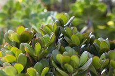 What Types of Plants Make Good Feng Shui Money Trees?: Also known as the jade tree, this feng shui money plant is a succulent plant easy to look after.