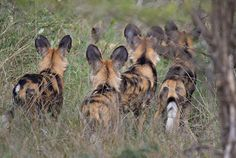 Painted Dogs by Morkel Erasmus http://focusingonwildlife.com/news/wildfocus/featured/painted-dogs/