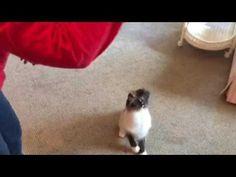 Ragdoll Cat Video: YoYo Cat http://www.floppycats.com/ragdoll-cat-video-yoyo-cat.html