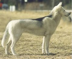 rare husky color