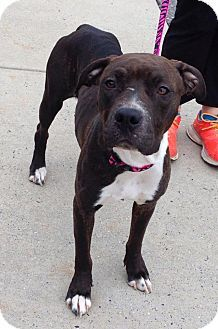 Ridgewood, NY - Pit Bull Terrier Mix. Meet Asia a Dog for Adoption.