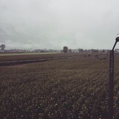 """Tubando sotto la pioggia""  #rain #rainydays #tenderbirds #cornfields #maize #countryside #grey #greenbutnotgreen #home #landscape #valchiavenna"