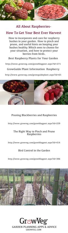Which raspberry plants to choose for your garden, which varieties to try, how to pinch and prune your bushes and how to keep them healthy. How to deal with both summer and autumn fruiting canes and how to then protect your crop from birds. In short how to get your best harvest ever.: