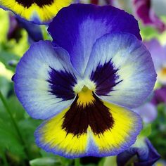 Purple Pansy that looks cobalt blue and yellow.