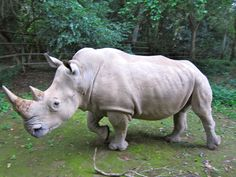 """The Northern White Rhino (Ceratotherium simum cottoni) of central Africa is now """"possibly extinct"""" in the wild and the Javan Rhino (Rhinoceros sondaicus annamiticus) is """"probably extinct"""" in Vietnam, after poachers killed the last animal there in 2010. A small but declining population survives on the Indonesian island of Java."""