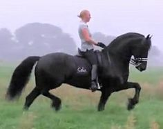 Stunning Black Friesian Horse,magnificent.