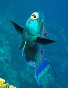 The Ocean Is Wonderful: Parrotfish by vanveelen Underwater Animals, Underwater Creatures, Underwater Life, Ocean Creatures, Parrot Fish, Undersea World, Beautiful Sea Creatures, Under The Ocean, Marine Fish