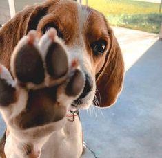 Top 10 benefits of having a Beagle - Holicpet.com