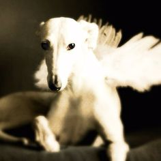 Beautiful Angel Dog All dogs go to heaven Greyhound Art, Italian Greyhound, I Love Dogs, Cute Dogs, Dog Heaven, Lurcher, Angels Among Us, Grey Hound Dog, Animal Totems