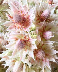 """""""Blushing bride"""" protea, part of my wedding bouqet"""