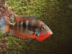 The Firemouth Cichlid is a great fish for both beginner and advanced fish keepers. Description from aquaticmag.com. I searched for this on bing.com/images