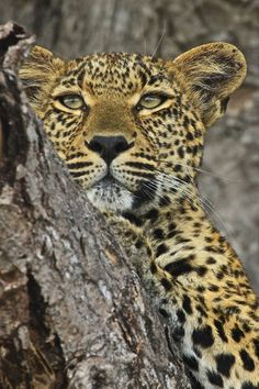 Leopard chilling 2 by Gary Parker Photos, via Flickr