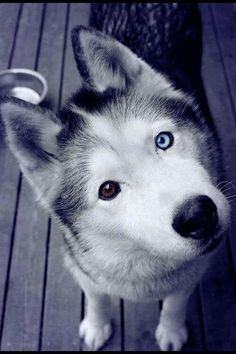 Regarder c'est yeux! C'est tellement beau des chiens avec des yeux pas pareille❤