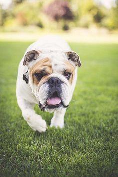 Happy Tails: Maddie the English Bulldog photographed by P. Best Dog Photos, Funny Dog Photos, Bulldogs Ingles, Dog Organization, Outdoor Dog, Cartoon Dog, Bulldog Puppies, Dog Photography, Image Hd