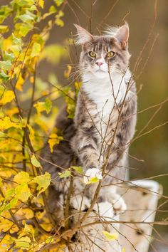 Wolfclaw. Tom. He is strong and good fighter/hunter. Has high respect to all she-cats. Can be mean but under that cold nature is strong passionate and kind hearted cat. Wolfclaw doesn't have mate or kits. He has taken interest in Fawnstep. RP by Music