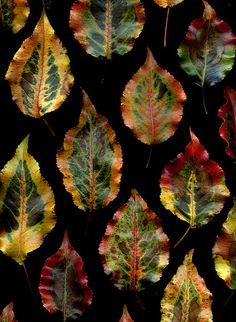 gorgeous patterning on these leaves - Pyrus calleryana