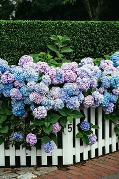Hydrangeas over the picket fence <3