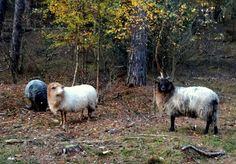 Travel and Lifestyle Diaries Blog: Autumn Forest Walks in Landgoed Heidestein-Bornia and sighting some Moorland Sheep