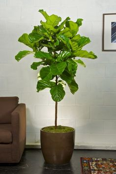 Fiddle leaf fig in bronze pot for under stairs