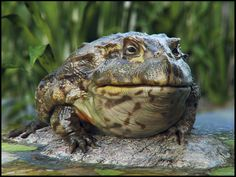 African bullfrog (Pyxicephalus adspersus)