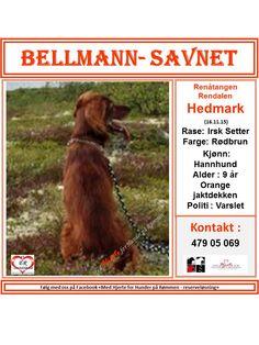 SAVNET : Renåtangen Rendalen Hedmark (16.11.15). . NAVN : Bellmann. . RASE : Irsk Setter. . FARGE : Rødbrun. . KJØNN : Hannhund. . ALDER : 9 år. . CHIP : Ja. . BÅND : Orange jaktdekken. . POLITI/FALCK/VIKING : Varslet. . KONTAKT : Frits 479 05 069. . HJERTEkontakt : Hege 977 32 232 /Liza 922 54 974. .