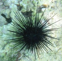 I don't always snorkel but when i do, i always make sure its in  sea urchin infested water @Heidi Haugen Cockerham