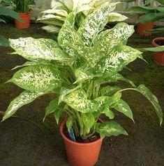 Диффенбахия – это очень эффектное комнатное растение, которое не только украшает интерьер и в процессе фотосинтеза улучшает состав воздуха в помещении, оно ...