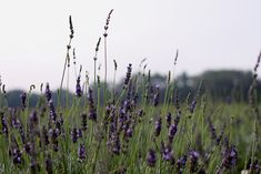 North Fork, Long Island lavender fields - Sweet Fine Day.